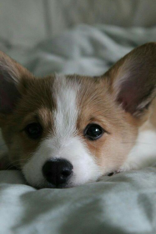 A Piece Of Total Cuteness Corgi Puppies Cute Animals