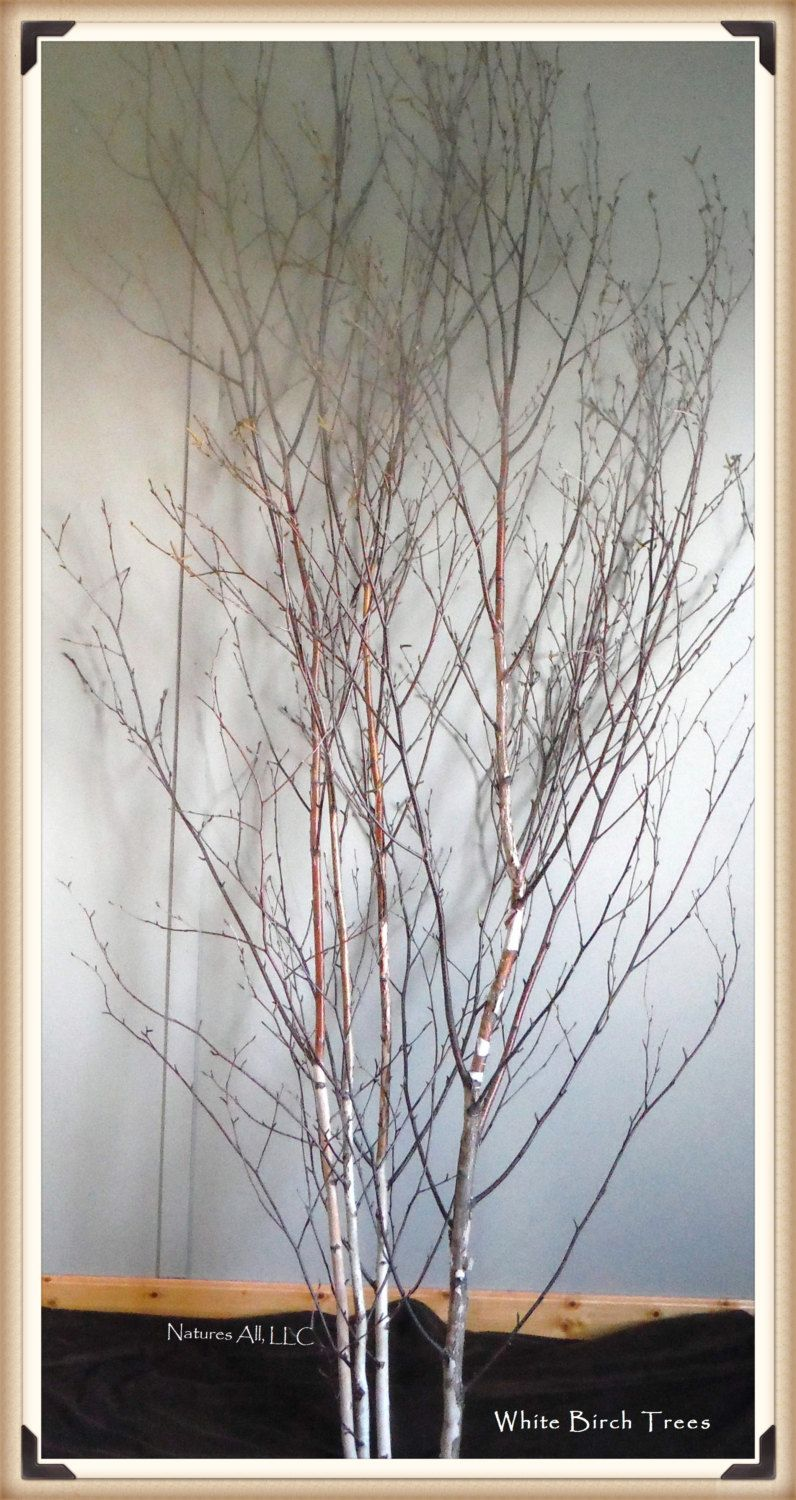 Tall White Birch Trees 6 7 Ft Lengths Decorative White Birch