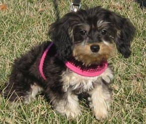 Adopt Cookie on Adoptable dachshund dog, Dachshund