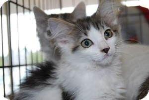 Berkeley Hts Nj Turkish Angora Meet Sasha A Kitten For Adoption Kitten Adoption Pets Pet Adoption