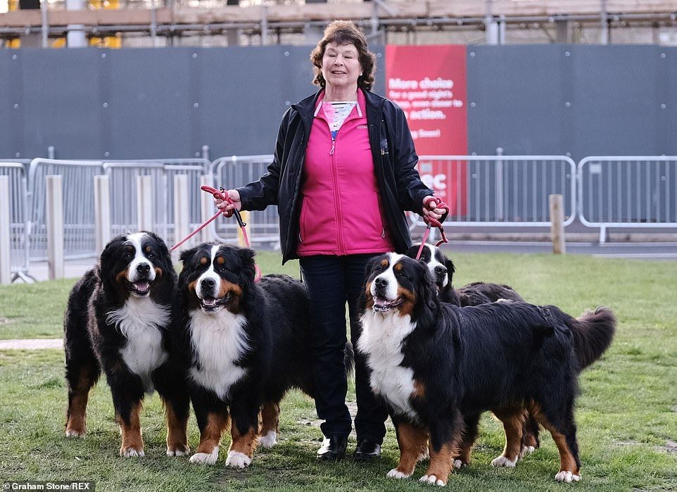 Day Two Of Crufts Sees Longer Haired Lovelies Vying For Rosettes