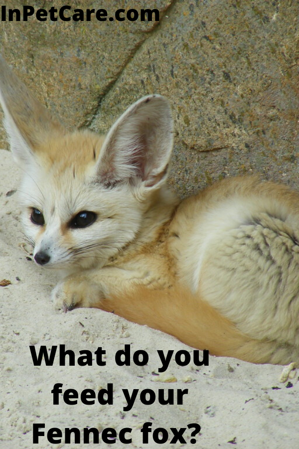 Tags what to feed a fennec fox what to feed fennec foxes