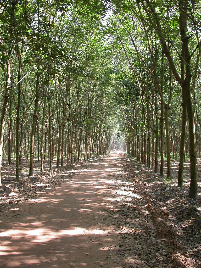 Rubber Trees, South Vietnam (2004) OC 768 x 1024   South ...