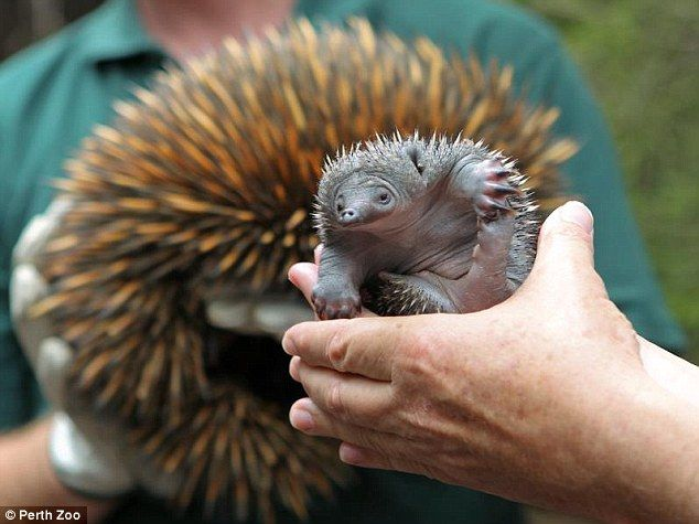 Snuggles From Puggles The Tiny Baby Echidnas That Can Curl Up In