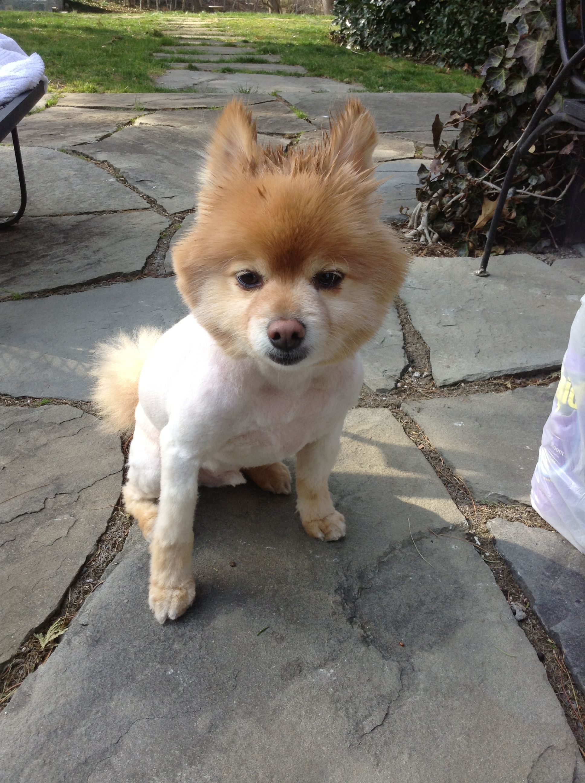 Brownie, Apr 2013, with his new haircut