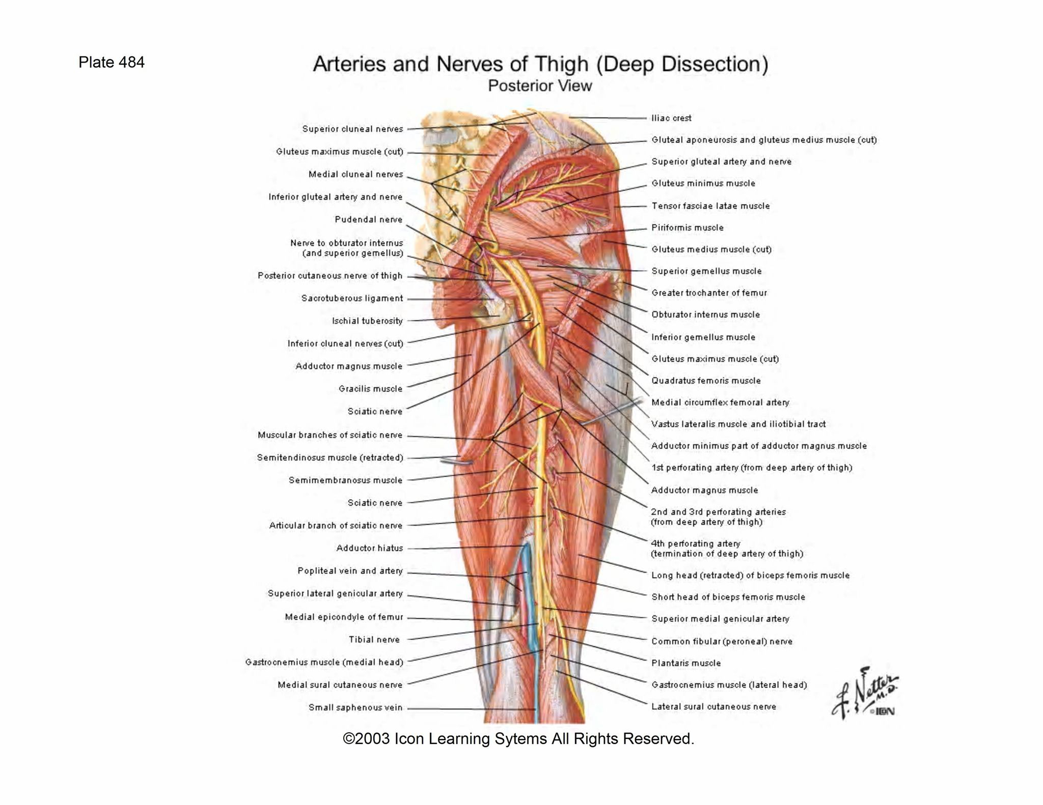 In the medial region is the point where the femoral artery and vein ...