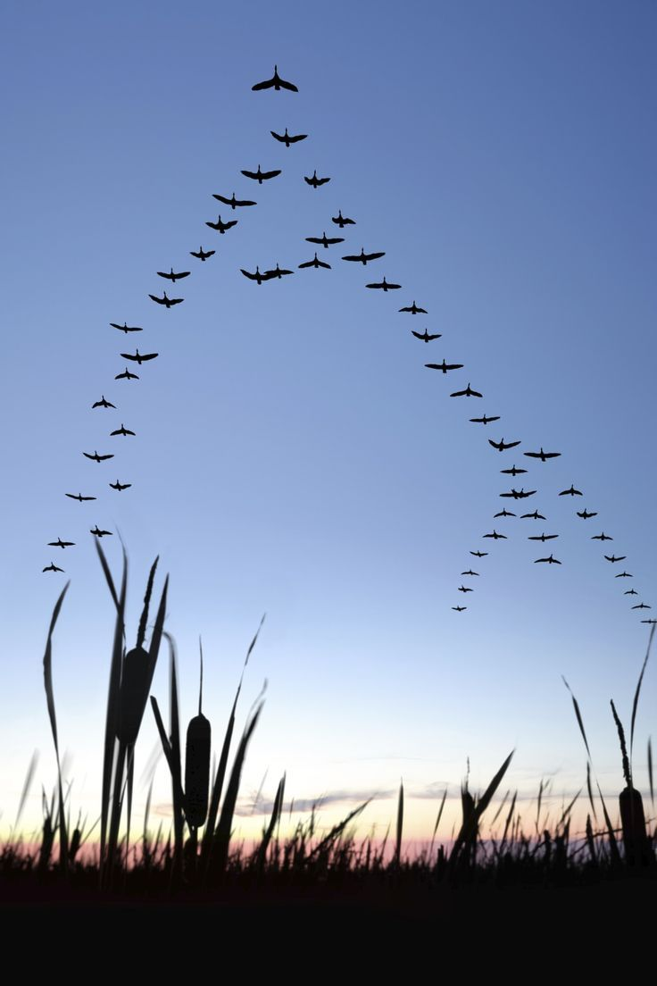 Migrating Canada geese You know why, when geese fly in V formation ...