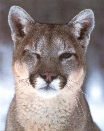 Cougar- Hi gorgeous!