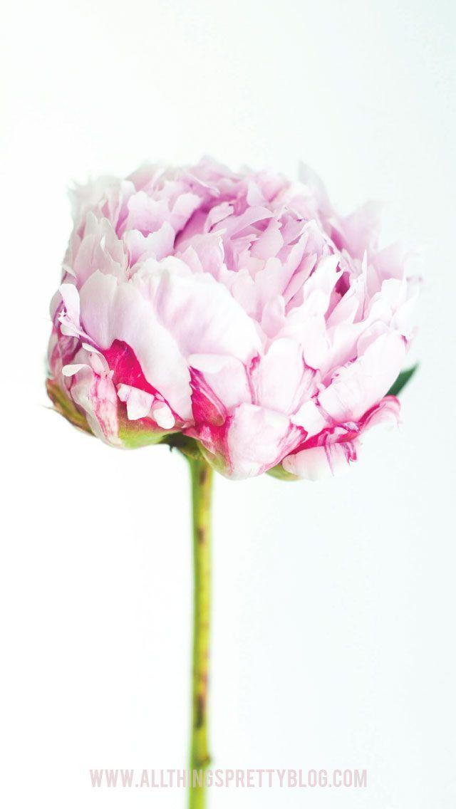 Peony flower iphone phone wallpaper background lockscreen