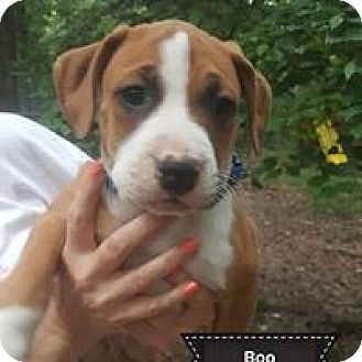 Albany Ny American Staffordshire Terrier Pointer Mix Meet Boo