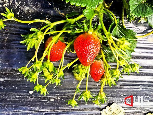 <<봄의 과일 딸기>> 수확을 앞둔 딸기. 경남 김해 한림면에서 (뉴스바로 장덕수 기자  214.2.7)