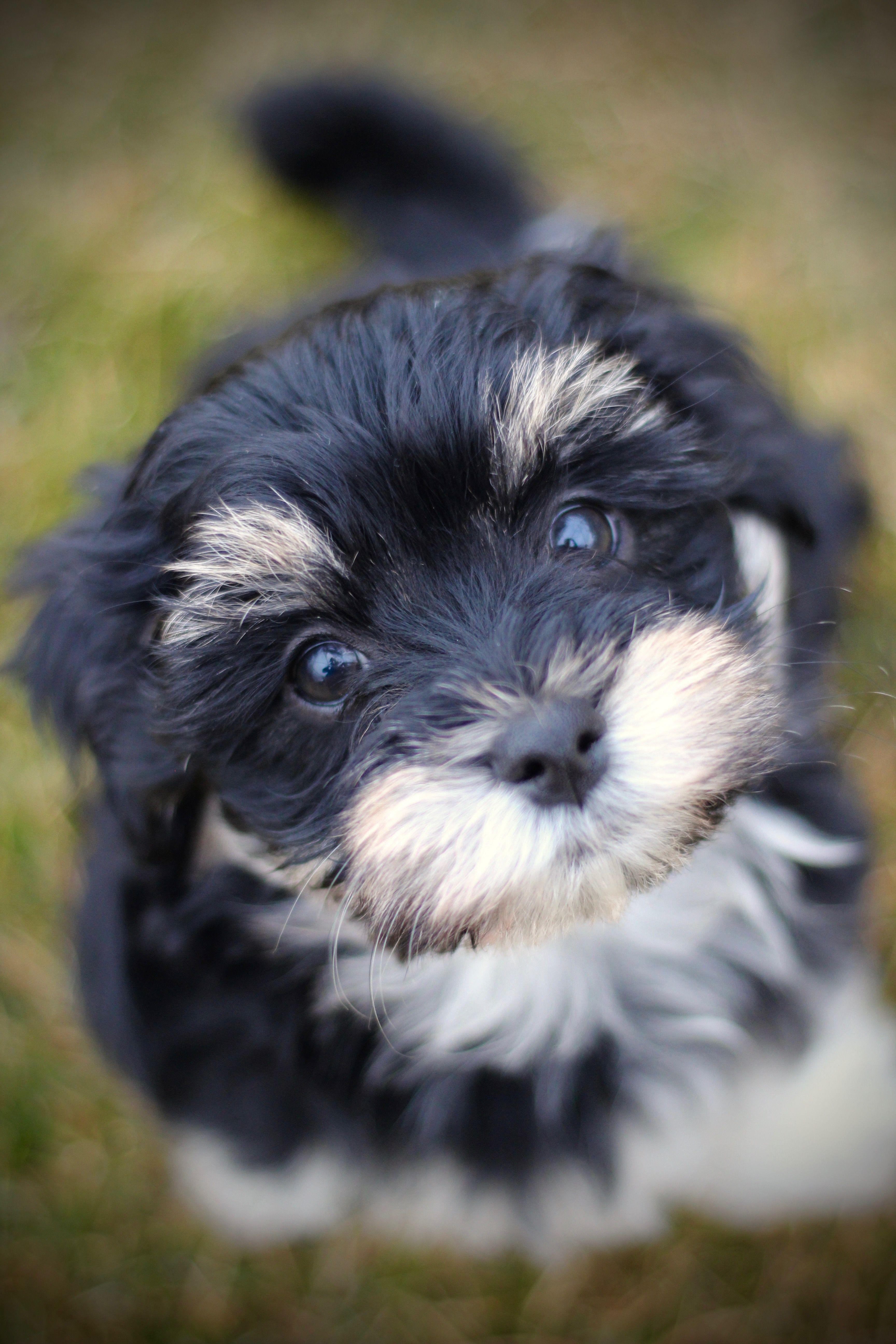 A Zuchon puppy from babybarks.ca Puppies, Shih