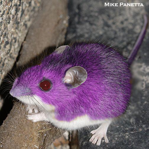 Rattata Animals Animals Images Cute Rats
