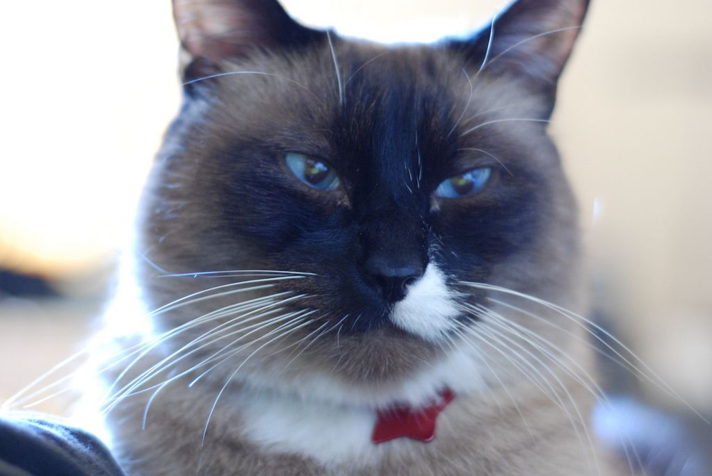 Snowshoe Kittens for Sale & Cats for Adoption Snowshoe