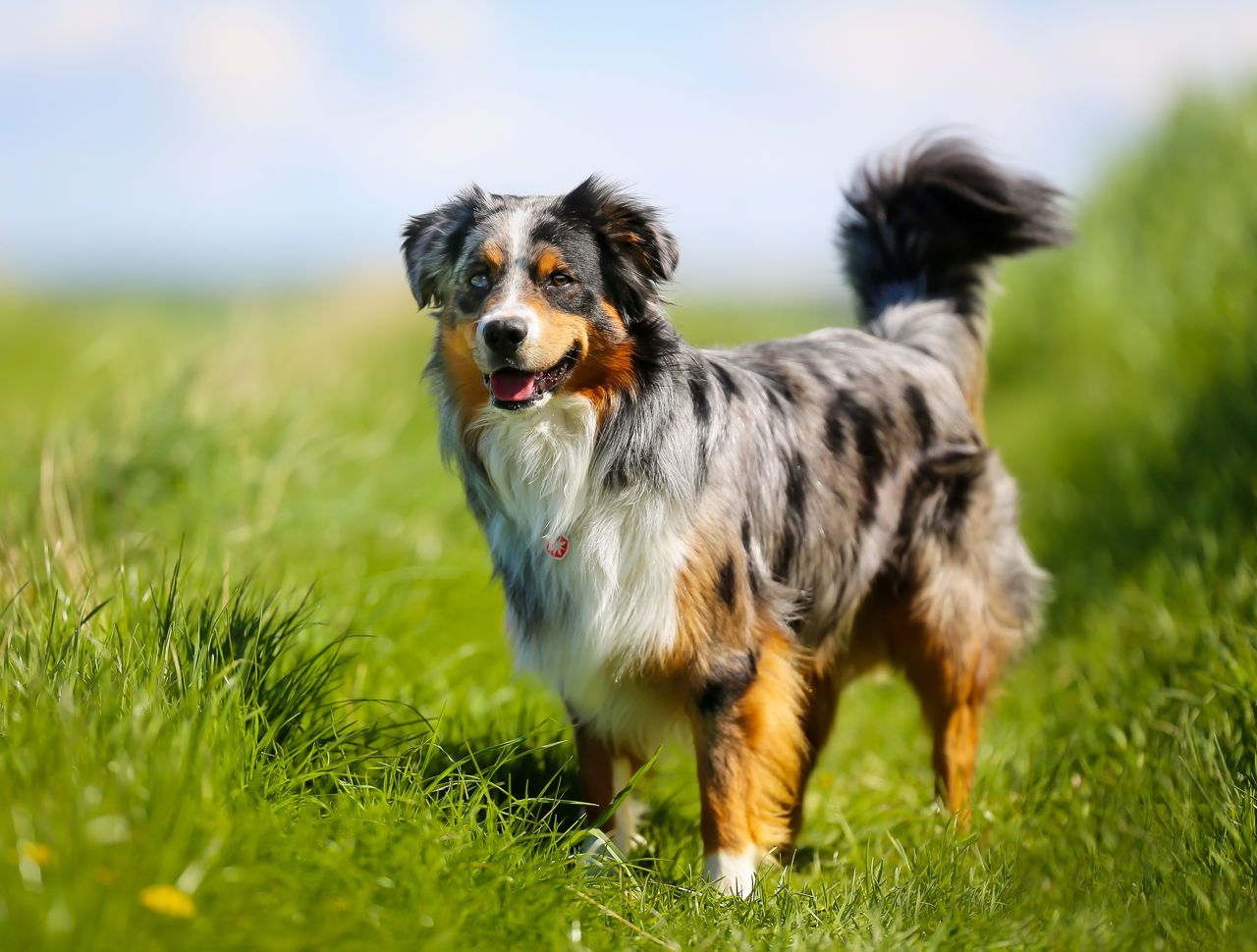 Border Collies Are Clever Athletic And Are Incredibly Quick As We Mentioned Theres Not A Lot Of I In 2020 Shepherd Dog Breeds Australian Shepherd Dogs Aussie Shepherd