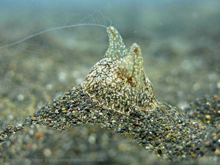 Scuba Dive The World -Okinawan Snake Eel  - Lembeh