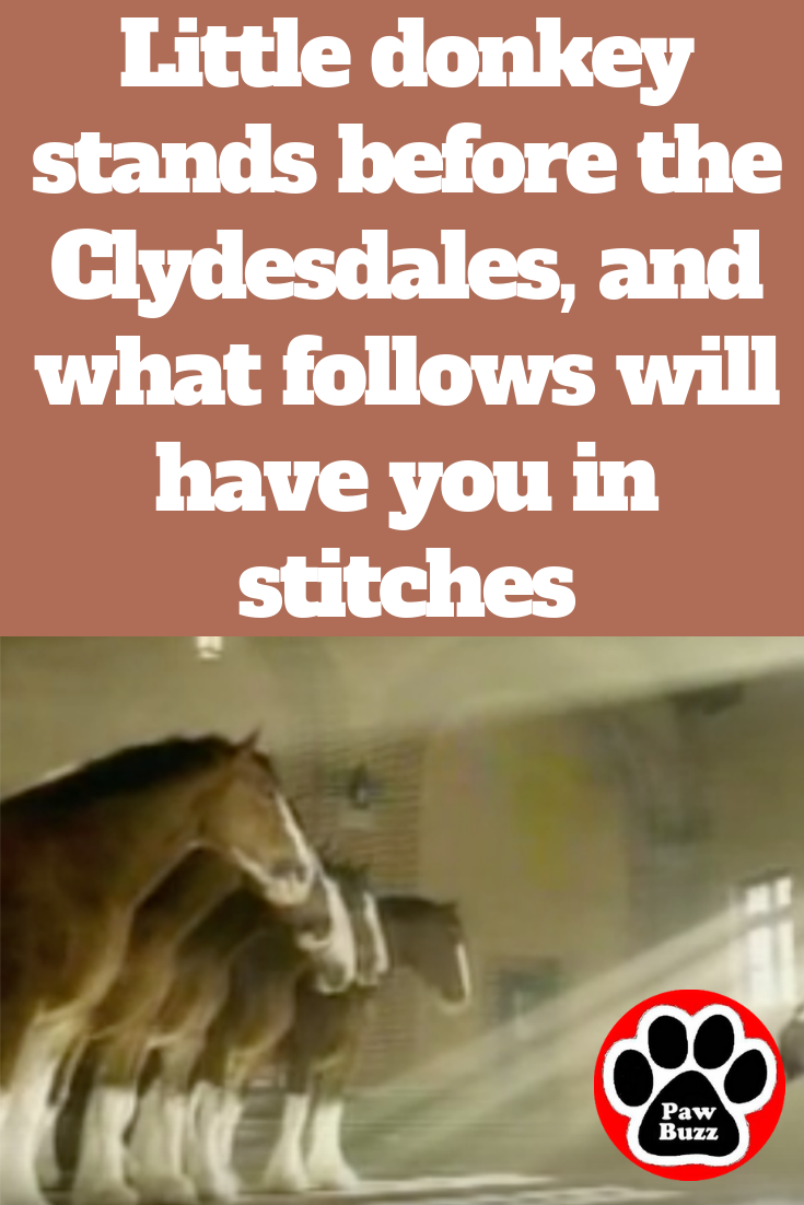 Little donkey stands before the Clydesdales, and what follows will have you in stitches #animalsandpets
