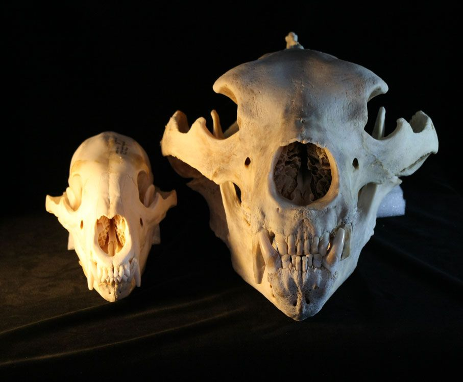 Black bear skull grizzly bear skull side by side size