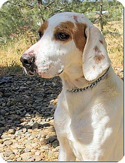 Sacramento Area Ca Treeing Walker Coonhound Mix Meet Jalapeno