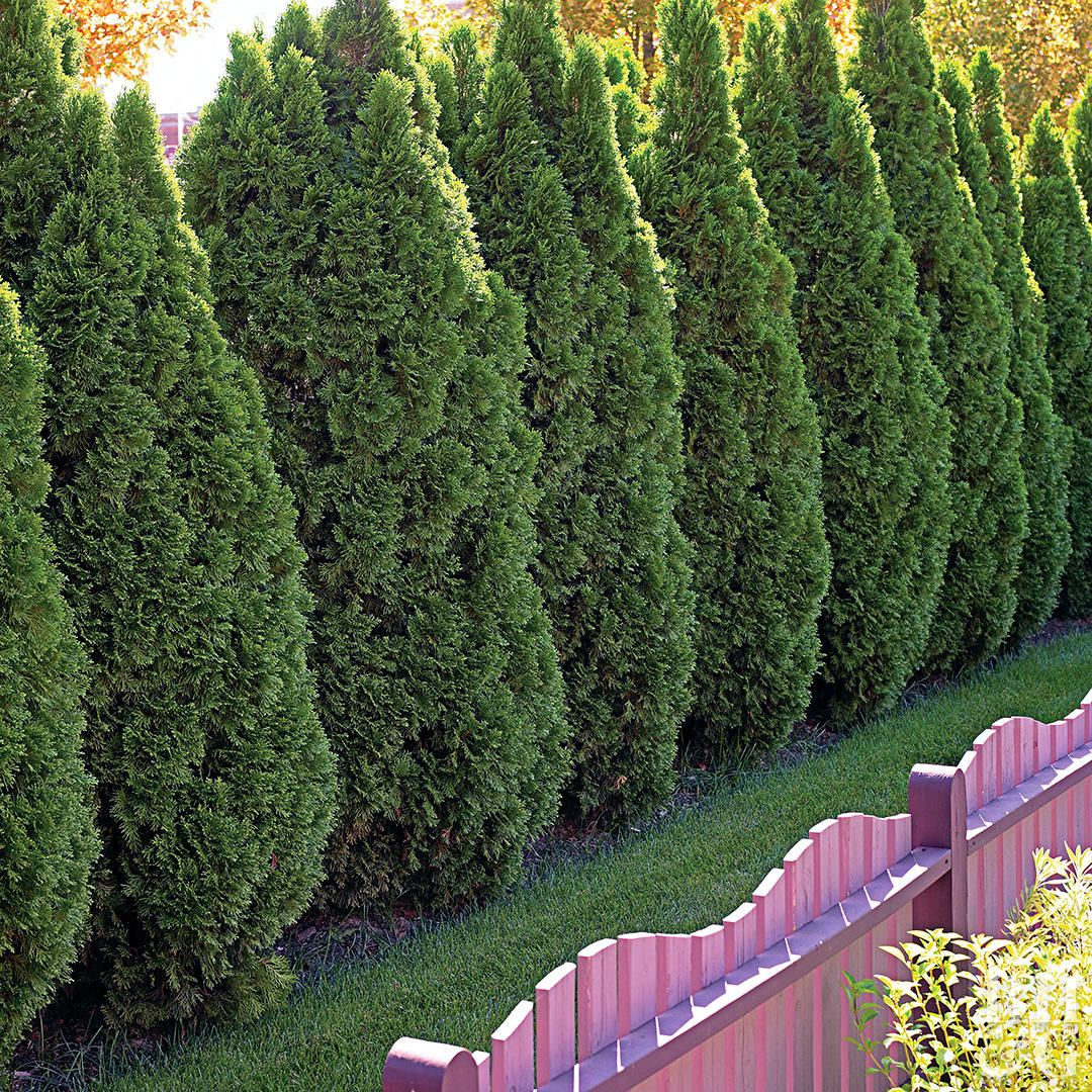 outstanding evergreen trees