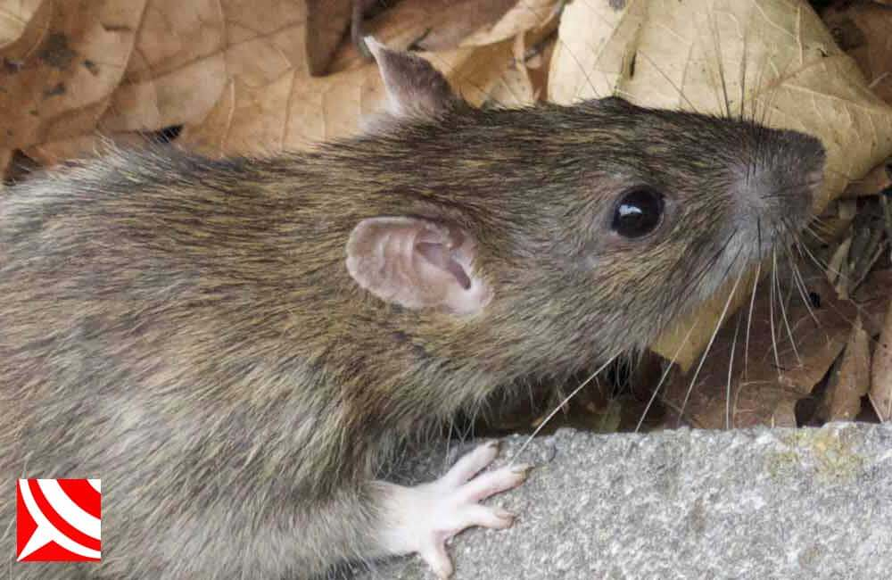 Rat Control In Bristol With Your Local Pest Control Specialist Waspkill Uk Rat Control Pest Control Pest Control Supplies