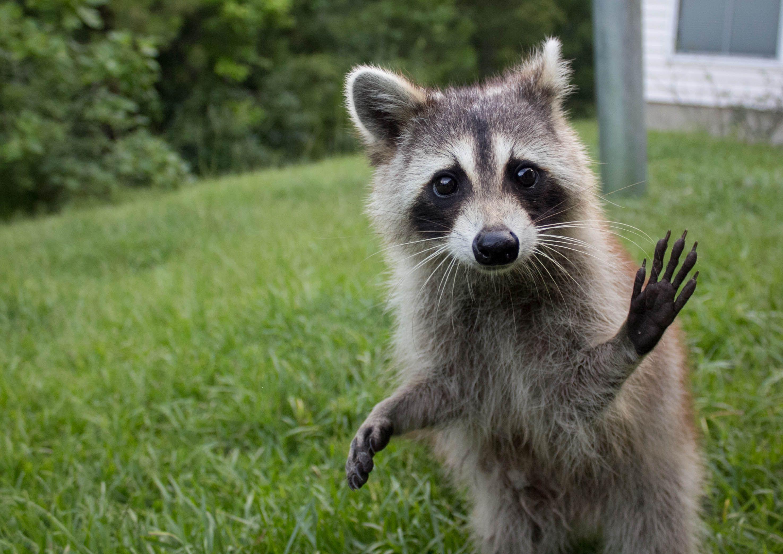 wave hello 30 raccoons that prove how gosh darn cute these backyard