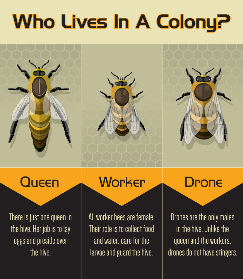 Backyard Bee Keeping 3 Types Of Bees In A Colony Bee Keeping Backyard Bee Bee Facts