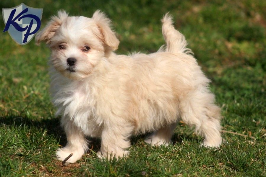 Mini My Little Malshi Puppy Cute Little Animals Puppies Cute Dogs