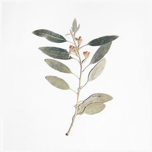 Sage twig