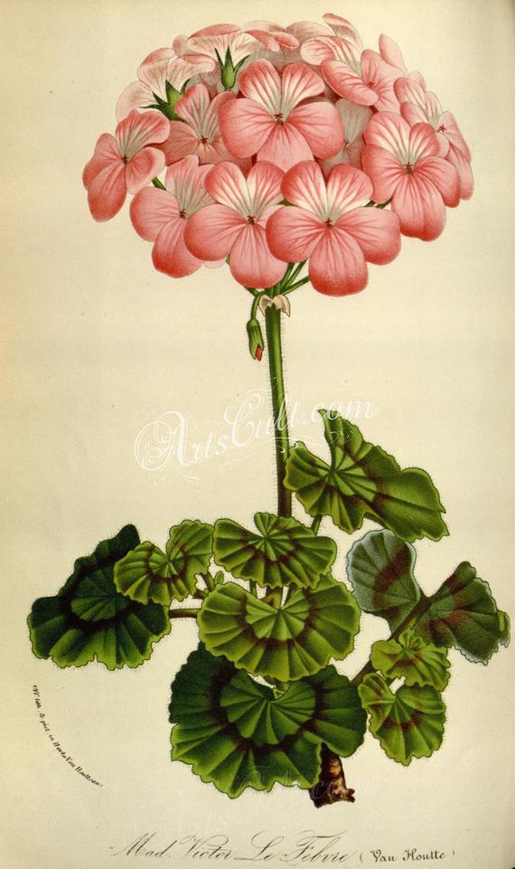 Flowers23402 pelargonium zonale vintage printable Etsy