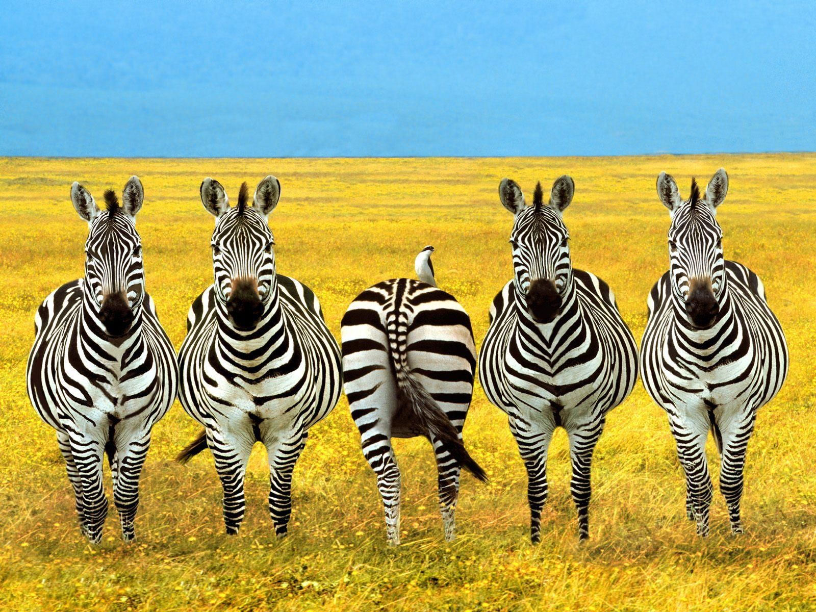 download animals zebra wallpapers images photos and pictures 1920a—1200 zebra desktop wallpapers 41
