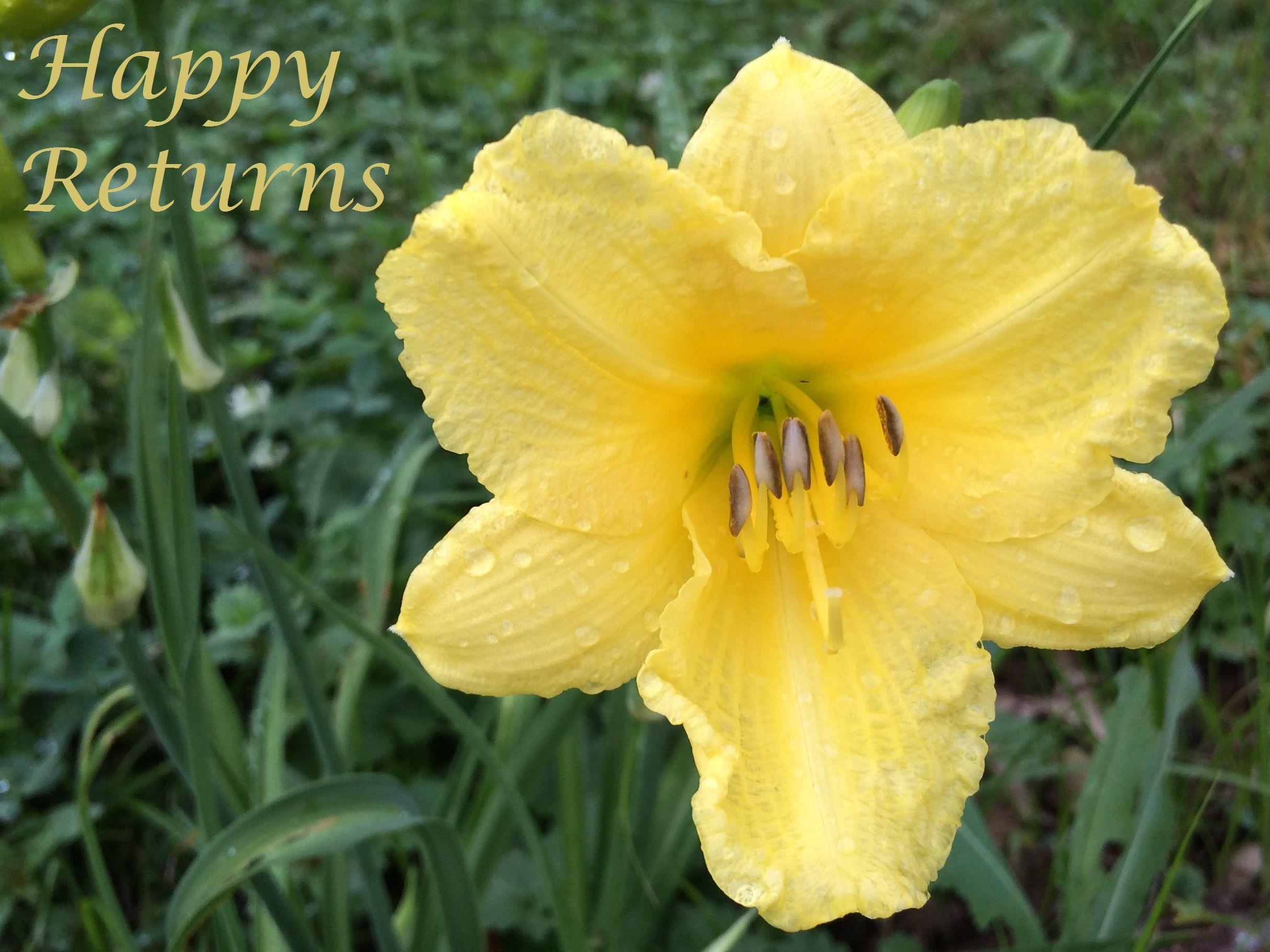 Happy Returns Daylily Photo By Happygodaylily Day Lilies Happy Returns Plants