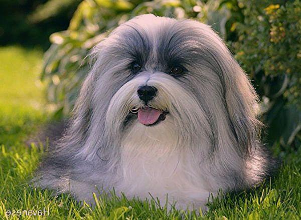 Havanese Dogs Shih Tzu