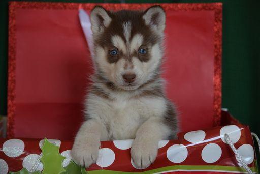 Siberian Husky Puppy For Sale In Fredericksburg Oh Adn 54427 On