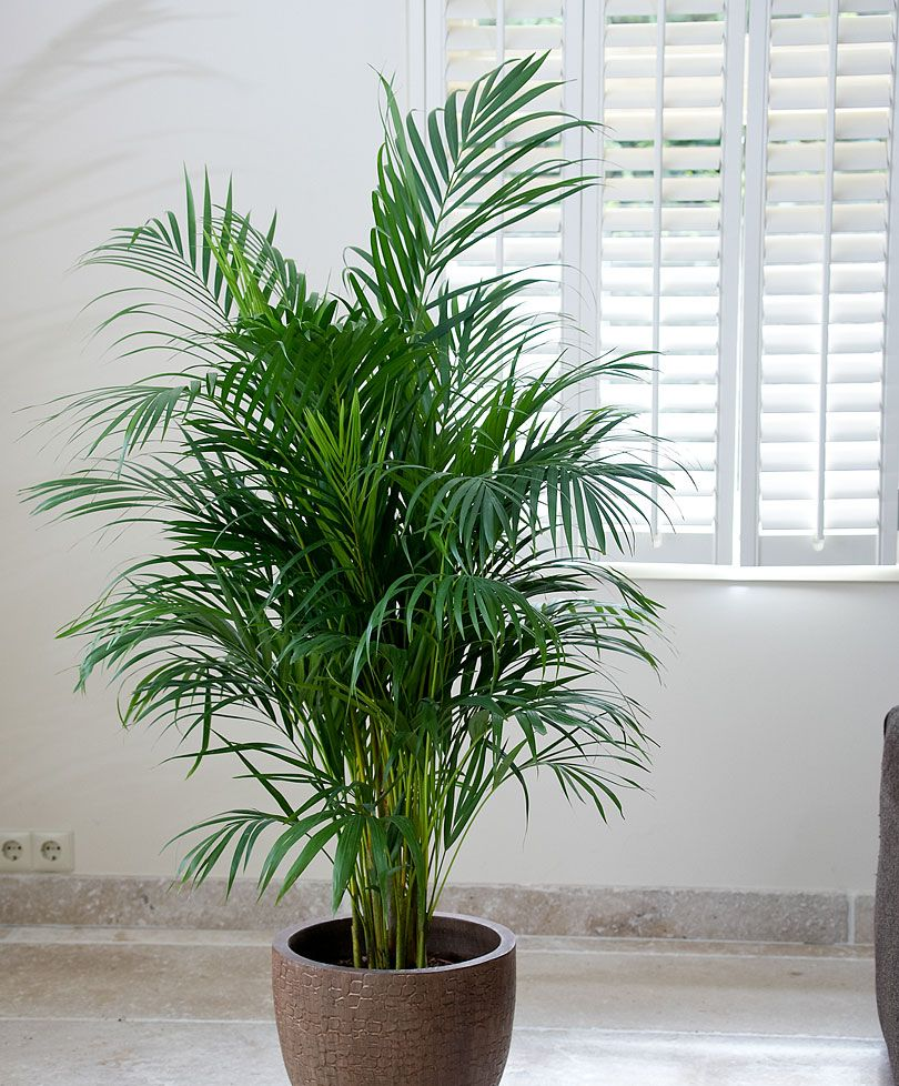 Areca palm tree for adding moisture in the air during dry