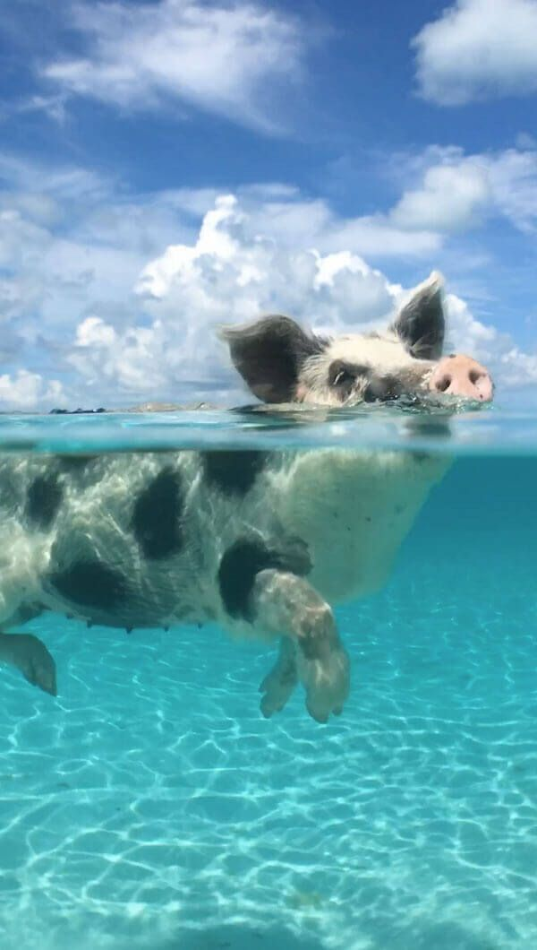 Take a dip with a swimming pig in The Bahamas | Th