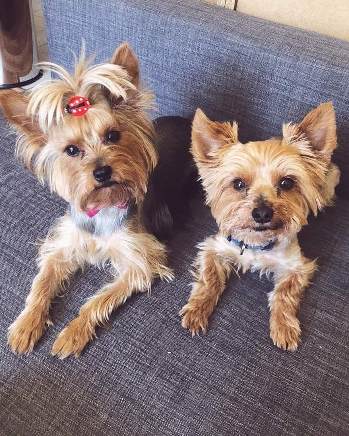 Pin by Animals Lover on yorkie