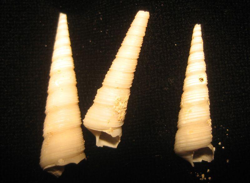 Turritella carinifera (Lutétien)