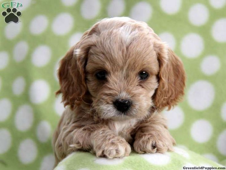 Image Result For White And Tan Cocker Cavapoo Puppies Cavapoo Puppies Poodle Mix Dogs