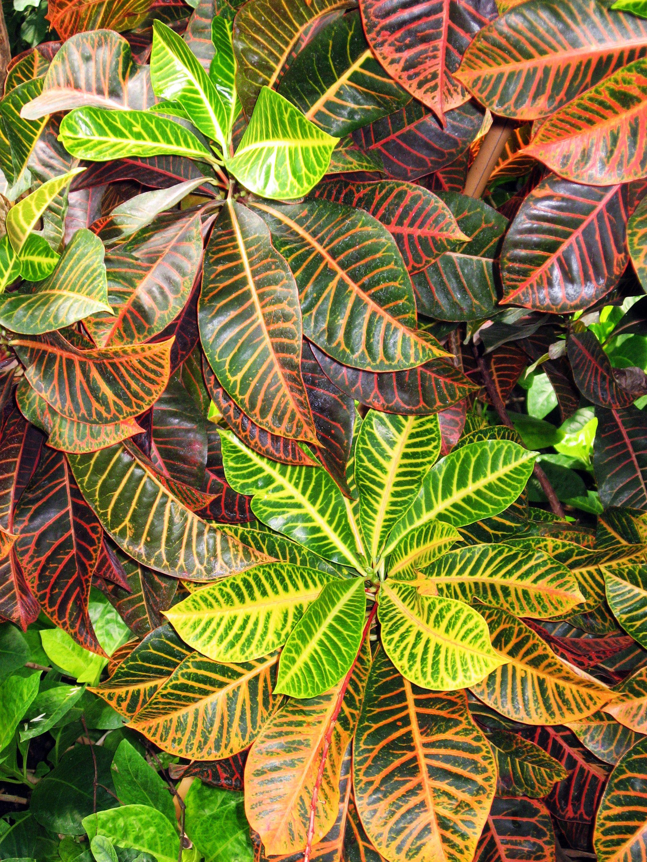 8032f260d3feea4d092e86378e6a68dd Codiaeum Plant House on croton plant, codiaeum revolutions plant, codiaeum variegatum plant,