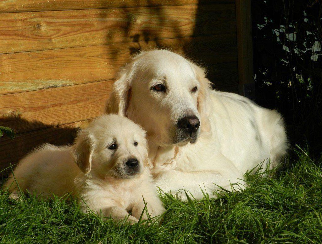 Golden Retriever Noble Loyal Companions Pup Home
