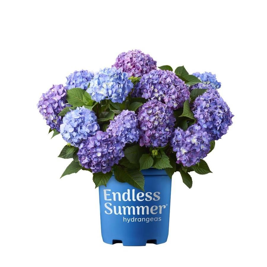 Endless Summer 3 58 Gallon Multicolor Bloomstruck Hydrangea Flowering Shrub In Pot Lowes Com In 2020 Hydrangea Bloom Endless Summer Hydrangea Summer Hydrangeas