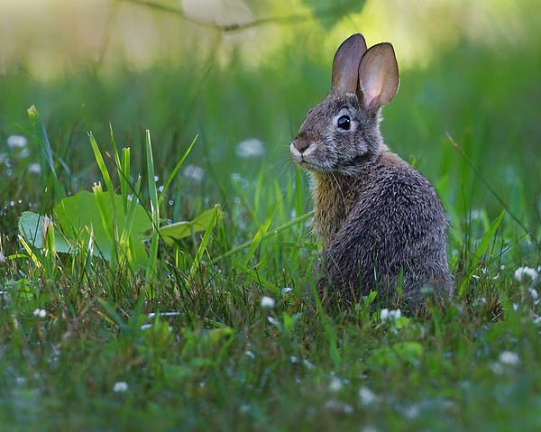 The eastern cottontail has long been a common inhabitant of backyards and open farmlands throughout the eastern and mid-western United States. This rabbit's elusive nature have made it a popular small game mammal as well. A non- social animal, the cottontail is mostly nocturnal but can commonly be seen foraging alone in the periods between sunset and dark and in the early morning before sunrise. Cottontails frequently emerge after summer rain showers to feed on lush vegetation.