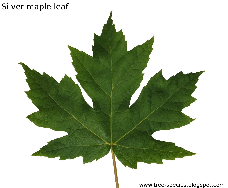 Silver Maple Leaf Tree
