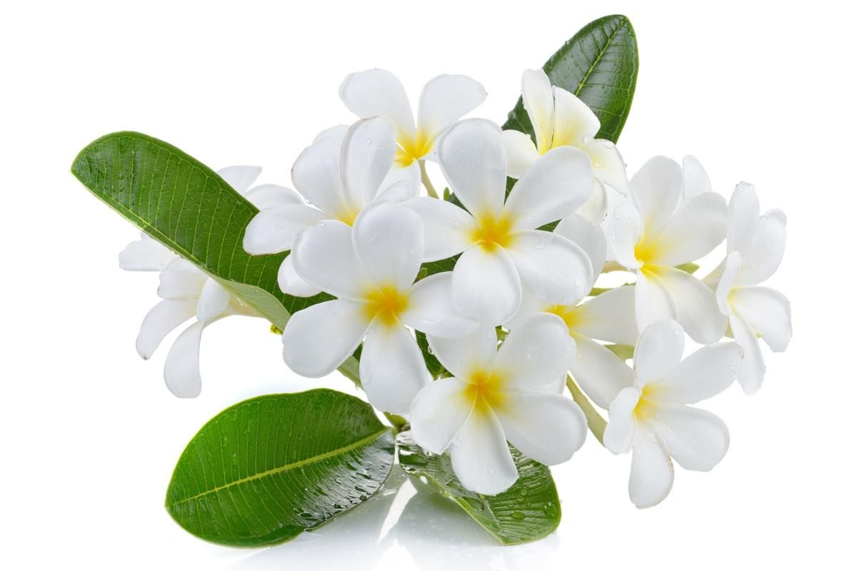 Plumeria Flower Meaning Its Deep Symbolism In Various Cultures Flower Meanings Plumeria Flowers Plumeria