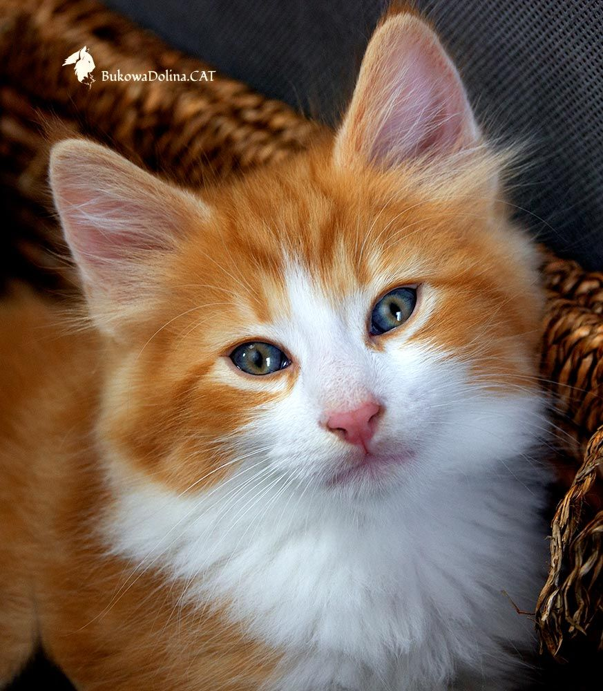 Cattery BukowaDolina*PL ( Norwegian Forest Cats ) http