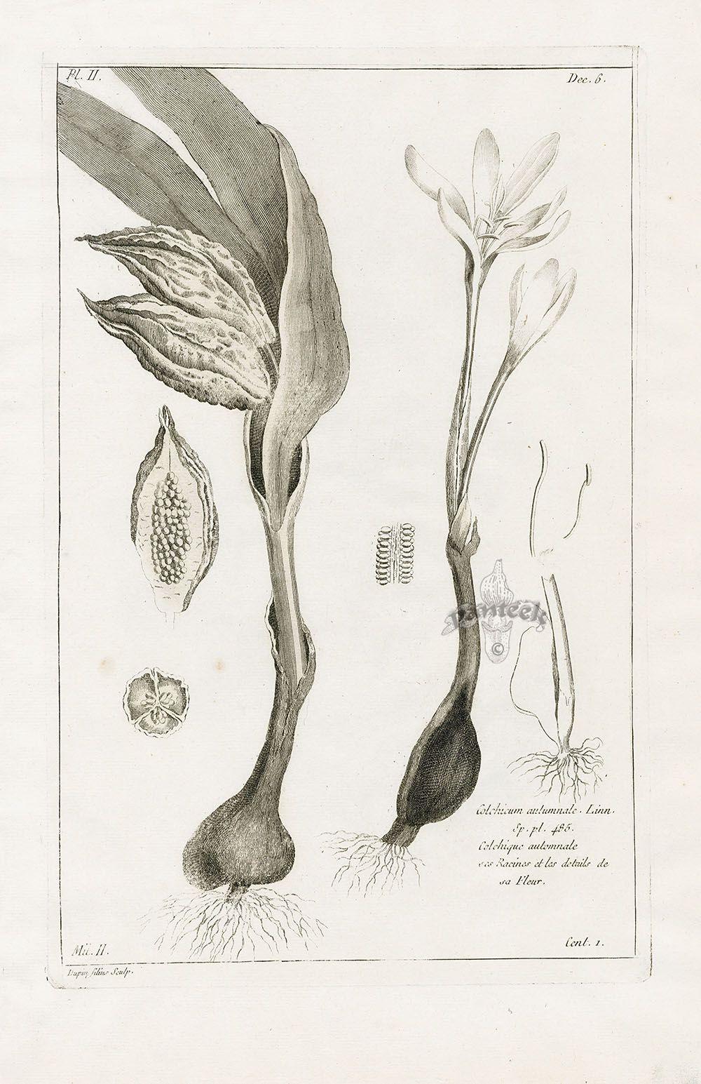 Colchicum autumnale from P.J. Buchoz Herbier Artificiel Botanical Prints 1783