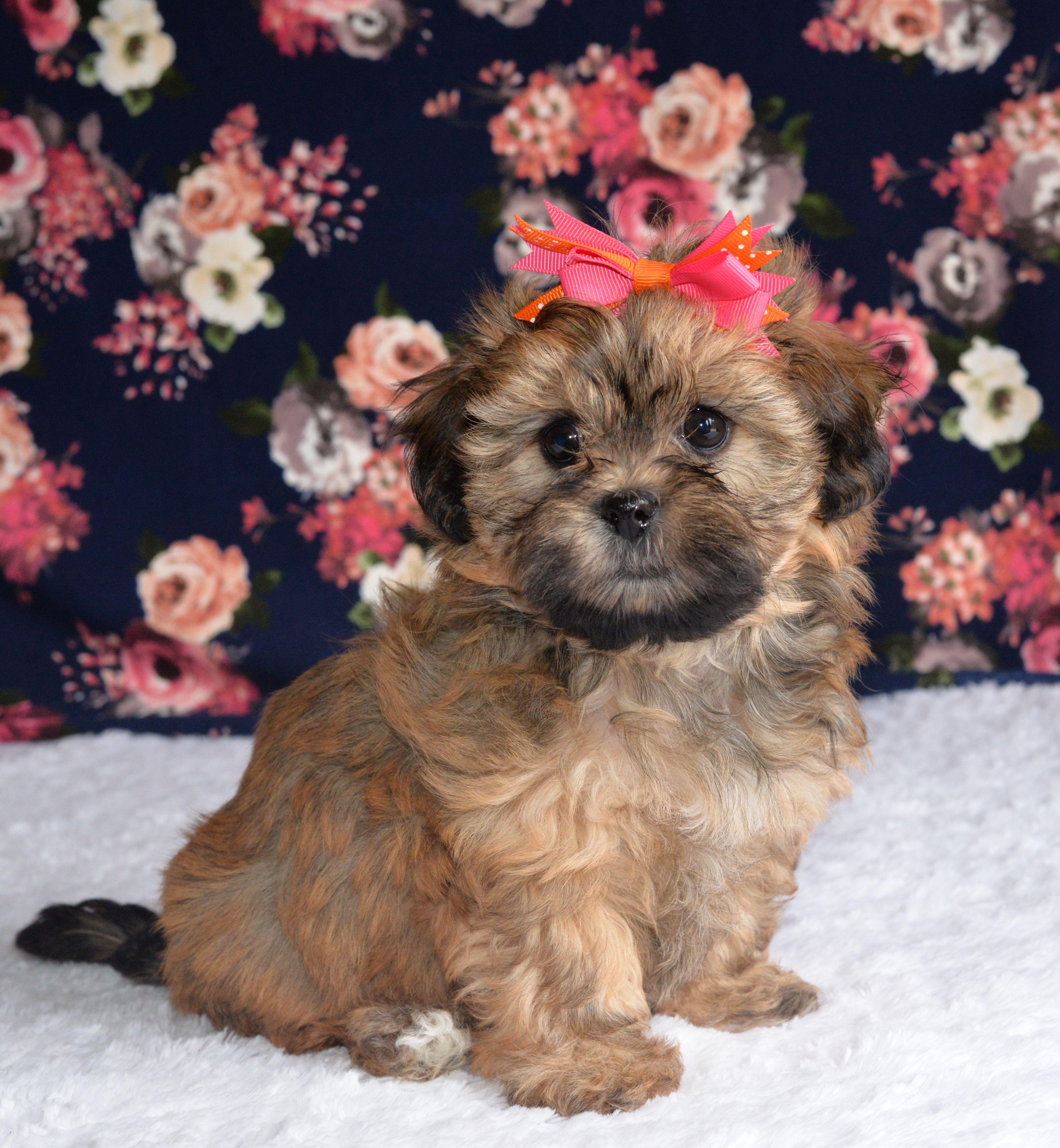 Wonderful Shihpoo Shih Poo Puppies Shih Poo Cute Animals