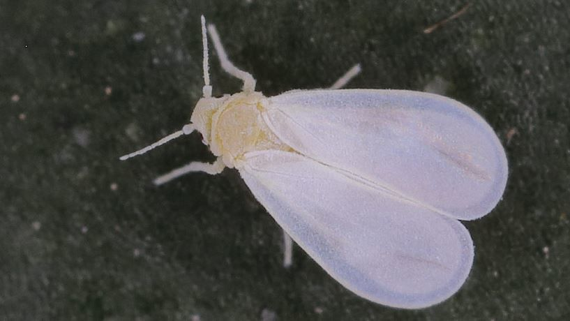 Whiteflies - Whitefly Control | Gardener's Supply #growingorchids