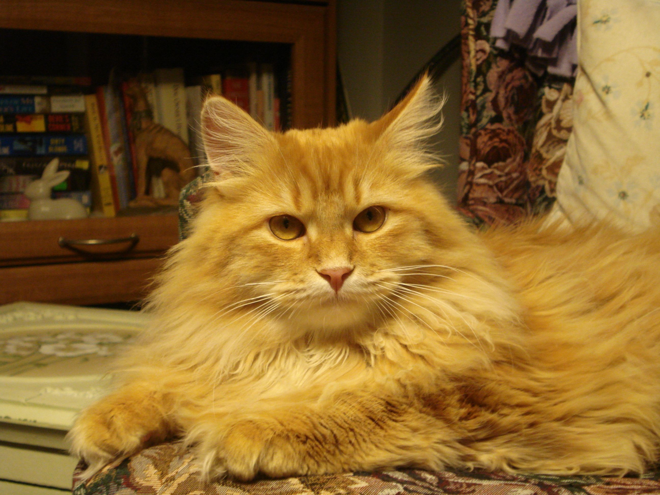 My Siberian Cat Gizmo Heavnzsent Sing To Me Mogwai Siberian Cat Cats Cats And Kittens